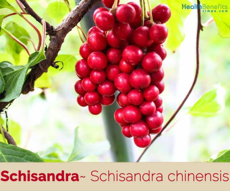 Schisandra, Calories, benefits and harms, Useful properties