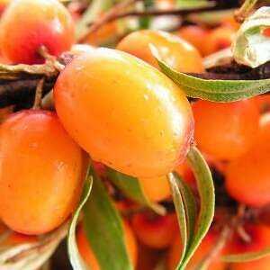 Sea buckthorn oil, Calories, benefits and harms, Useful properties