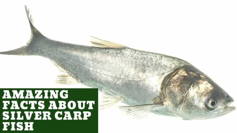 Silver carp, Calories, benefits and harms, Useful properties