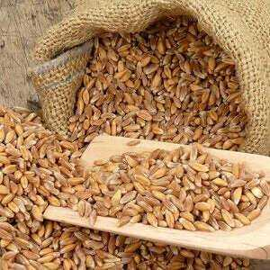 Sprouted wheat - useful and dangerous properties of sprouted wheat, Calories, benefits and harms, Useful properties