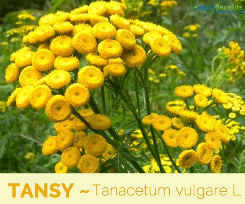 Tansy, Calories, benefits and harms, Useful properties