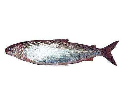 Whitefish, Calories, benefits and harms, Useful properties