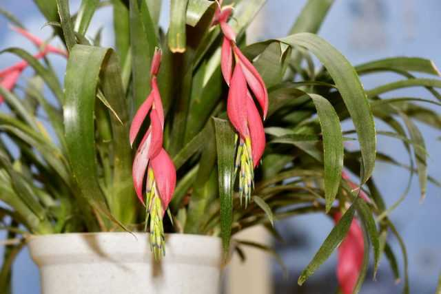 10 simple rules for growing Bilbergia-Care