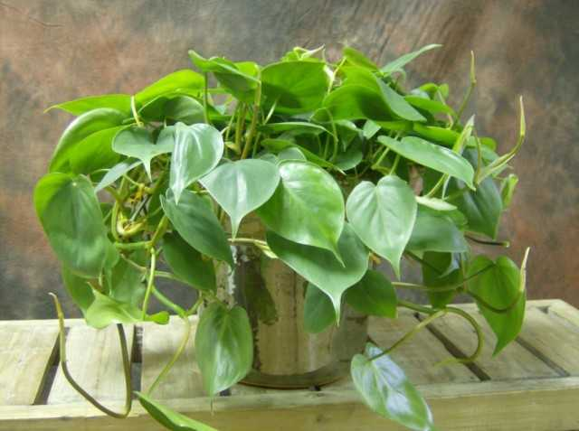 12 secrets of growing philodendrons