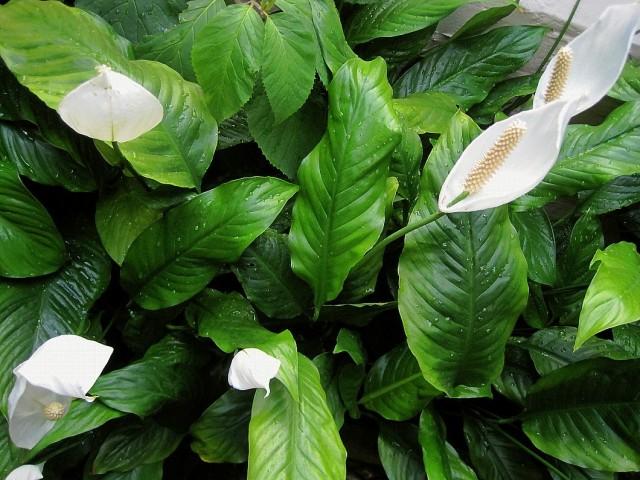 Spathiphyllum profusely flowering (Spathiphyllum floribundum)