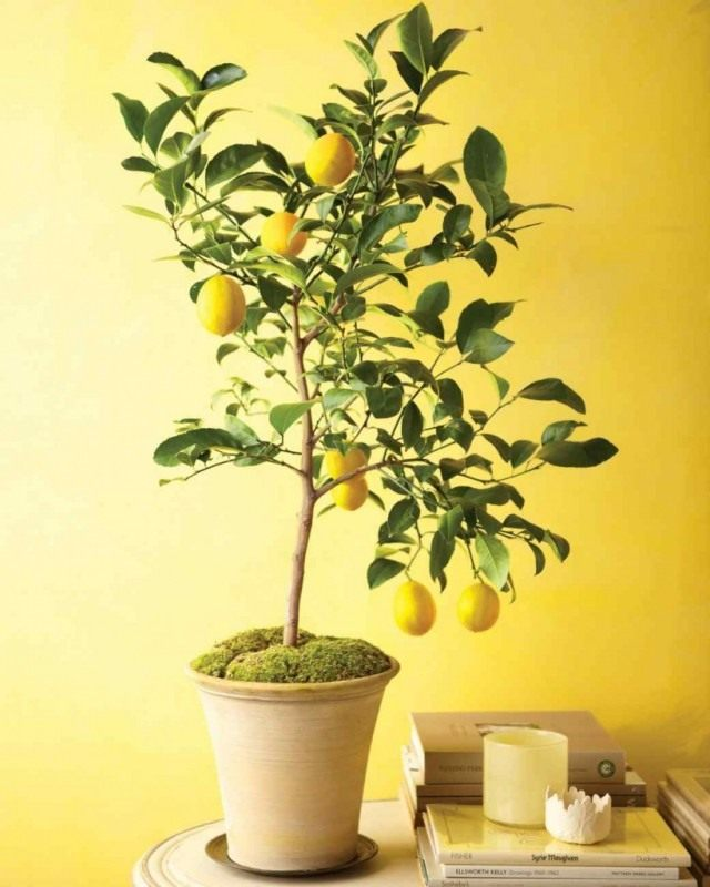 Lemon is endowed with a very important property - to tone up a person.
