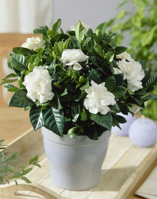 The best place for a gardenia is in the bedroom.