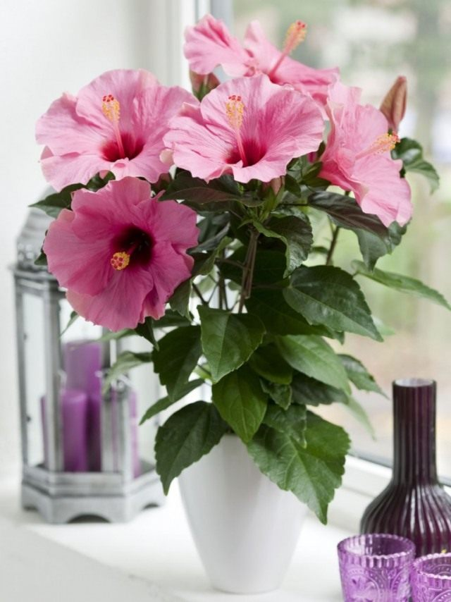 The energy of the Chinese rose will bring missing health, joy and love into the house
