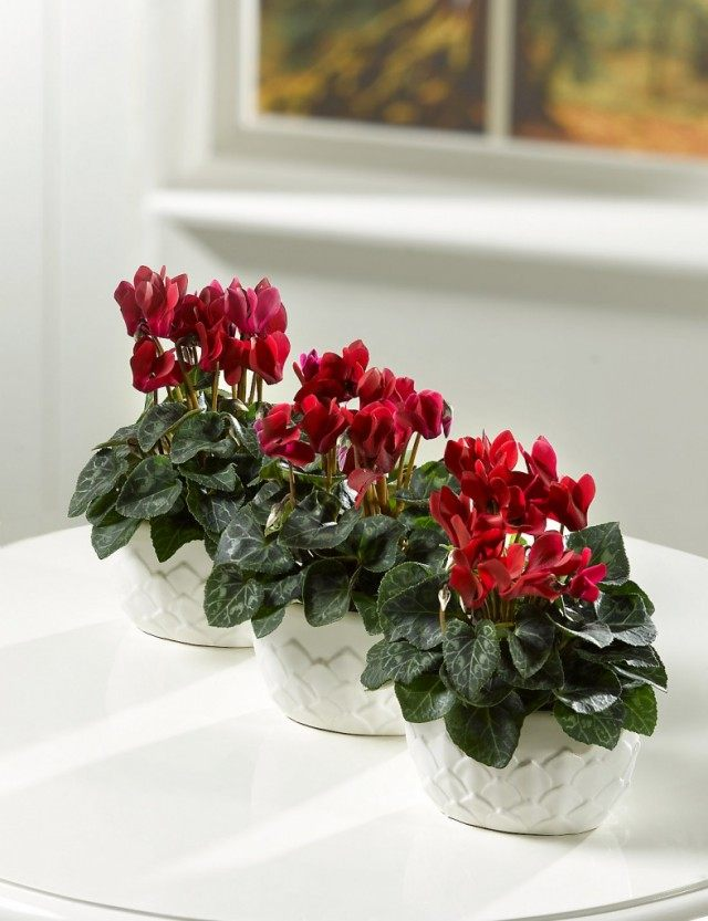 Cyclamen will create an atmosphere of mutual trust and ease around itself
