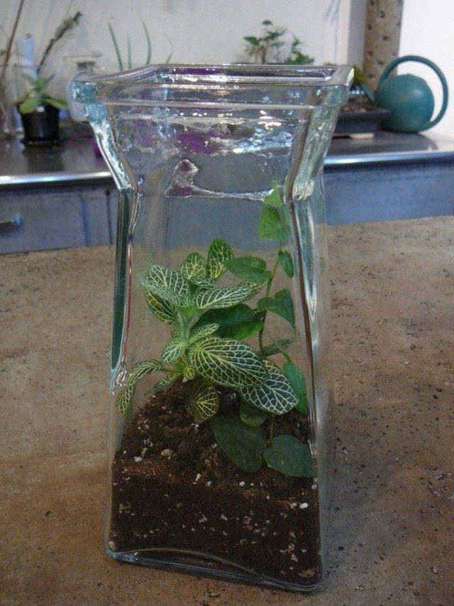 Fittonia in the terrarium