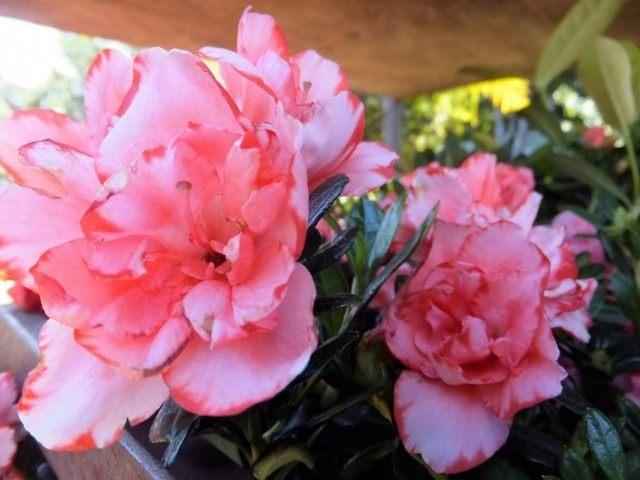Rhododendron, or Azalea