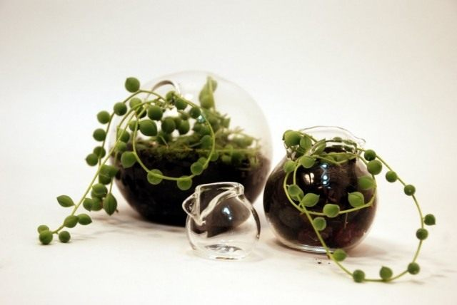 Rustic, or Senezio Rowley in a mini terrarium
