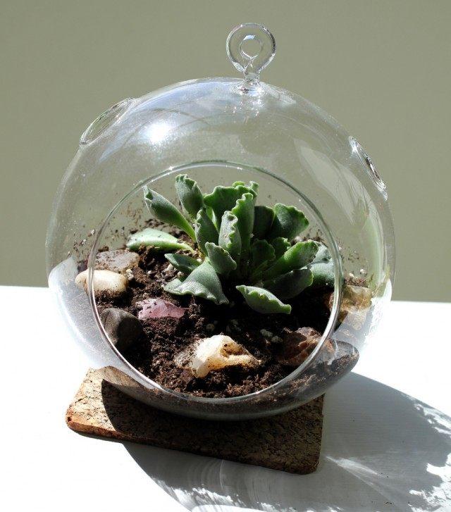 Adromiscus in the terrarium