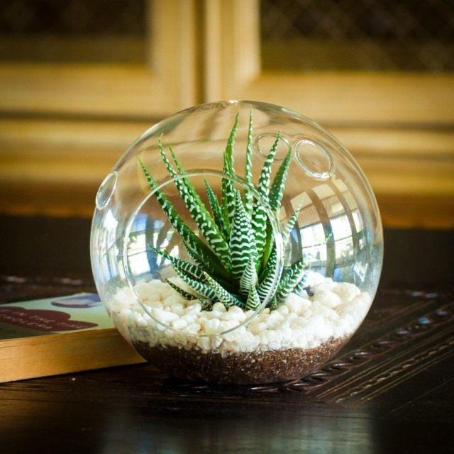 Haworthia in the terrarium