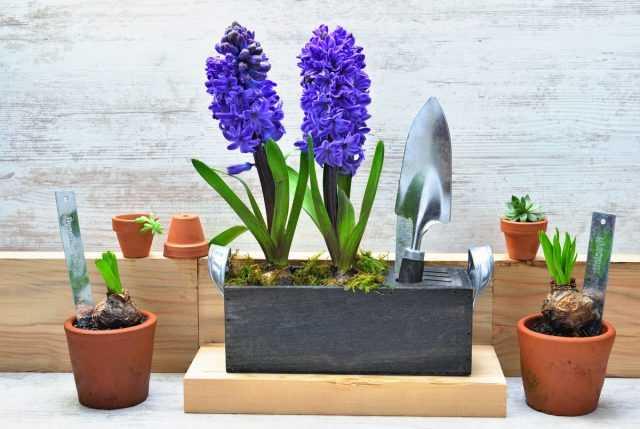 5 Secrets to Growing Hyacinths in the Nursing Room