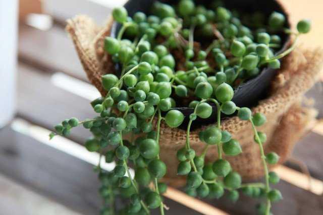 5 Very Unusual Succulent Plants - Care