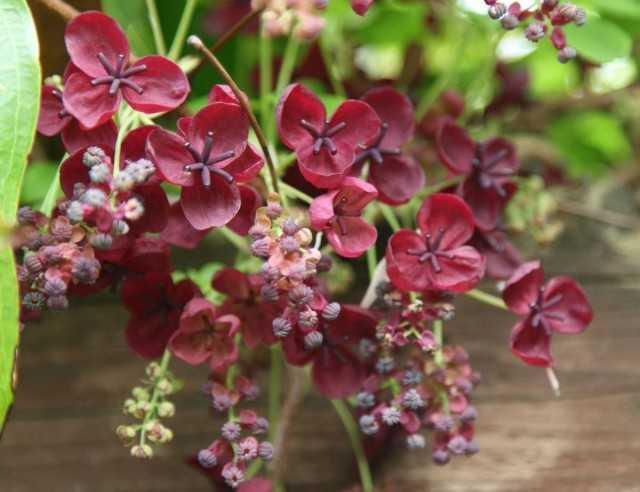 Akebia – indoor chocolate vine – Beautiful indoor plants