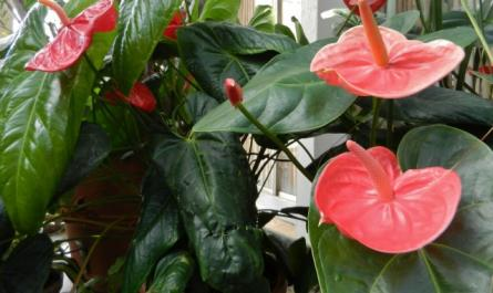 Anthurium - a miracle with a tail! - leaving