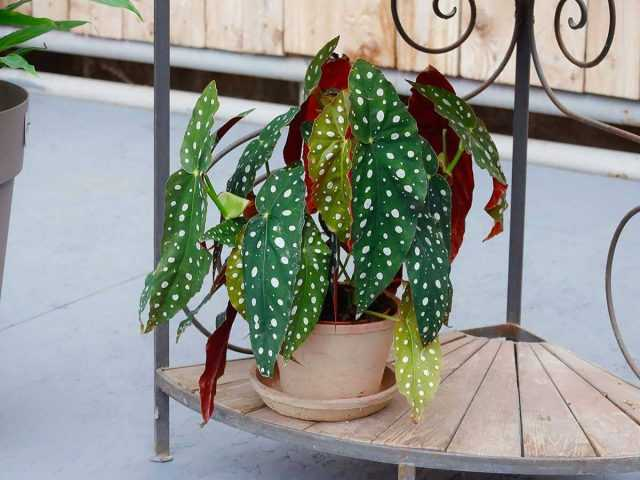 Begonia spotted – green leaves with white polka dots care
