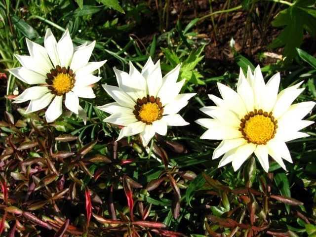 Blooms until frost gatsaniya – care