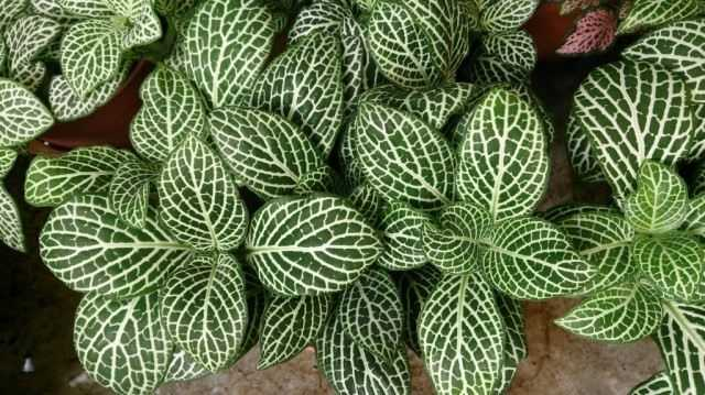 Capricious fittonia: growing at home - growing and care