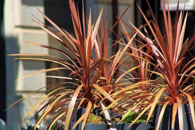 Cordilina – a brighter alternative to dracaena – Beautiful indoor plants