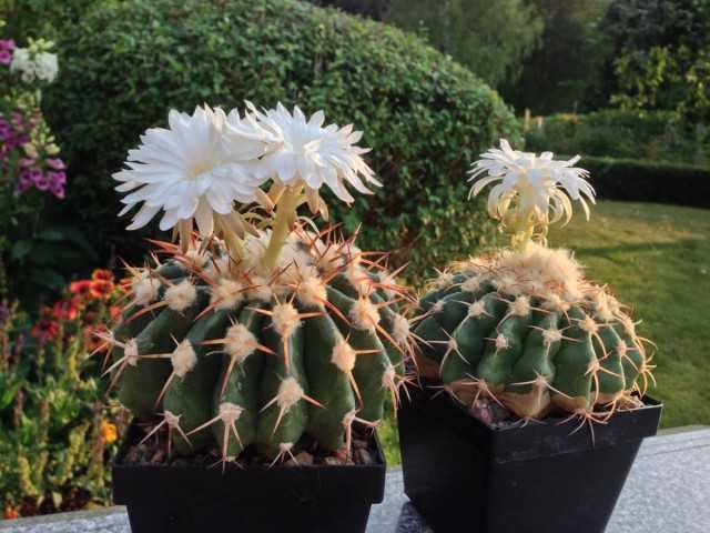 Discocactus - the most popular of the flowering cacti - Beautiful indoor plants