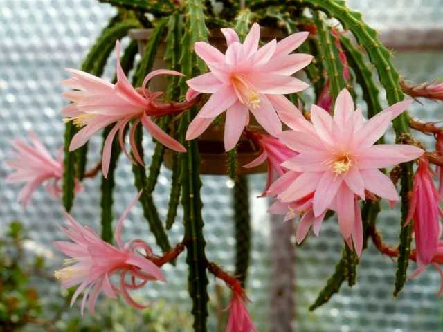 Epiphyllums - Abundantly Blooming Forest Cacti-Care