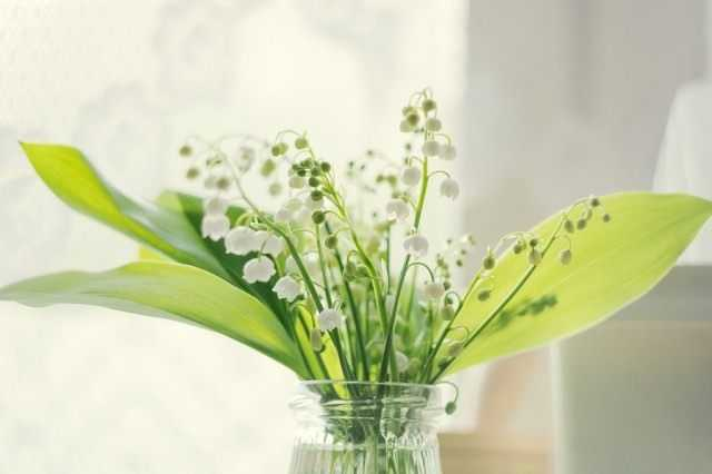Forcing lilies of the valley at home - care