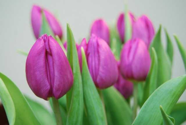 Forcing tulips - care