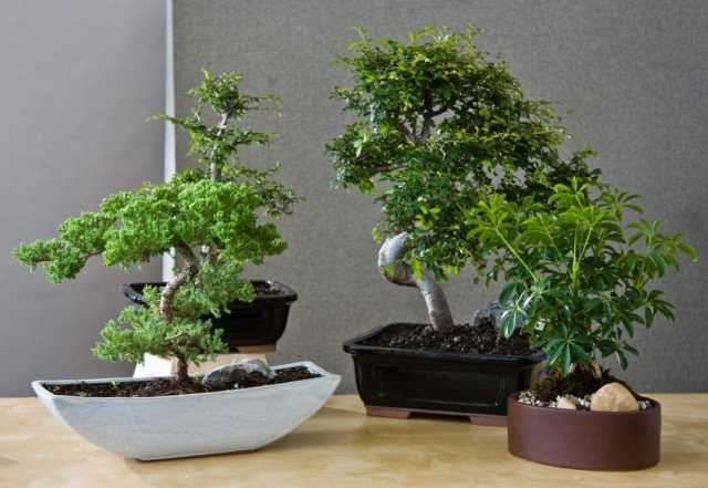 Golden rules for growing indoor bonsai