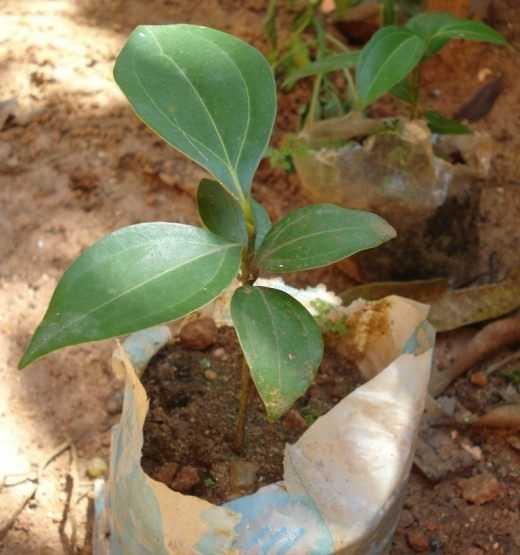 Grow cinnamon - care