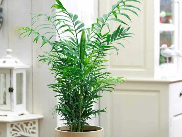 Hamedorea is the best palm tree to place inside care rooms