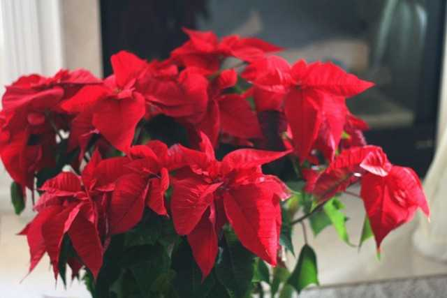 How to save poinsettia? – leaving