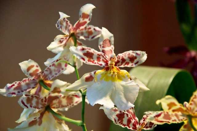 Indoor cambria – variegated star orchid care