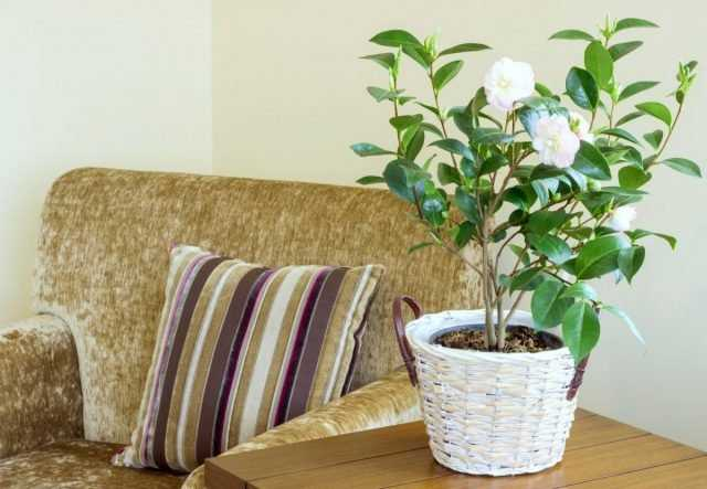 Indoor camellia – very beautiful, but not for everyone care