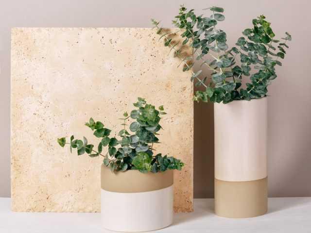 Indoor eucalyptus – fragrant and demanding care