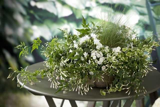 Indoor jasmine - unearthly perfection
