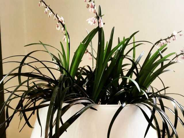 Indoor ophiopogon – either lily of the valley or cereal-Care