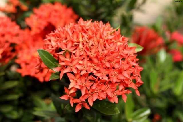 Ixora - fiery exotic with flawless leaves