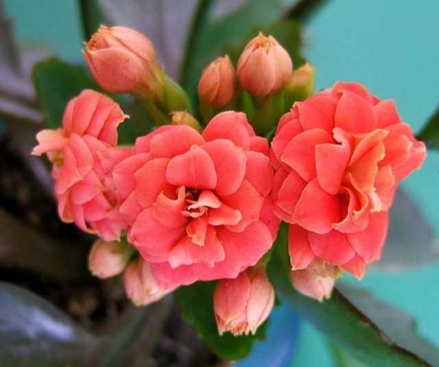Kalanchoe Blossfeld – flower under the hood – care