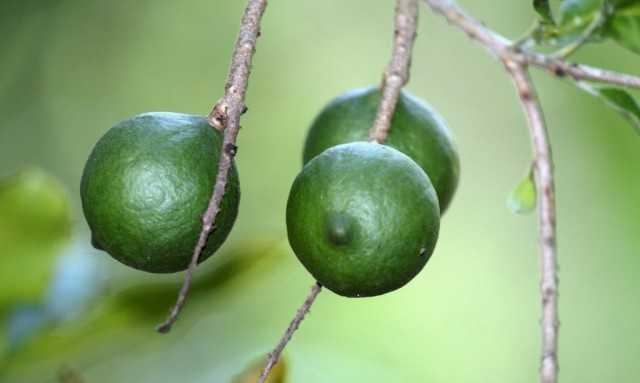 Macadamia, or Australian walnut – care