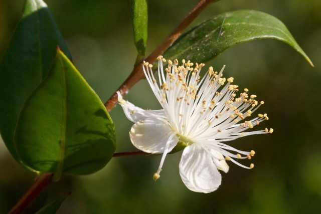 Myrtle – a symbol of peace and quiet – care