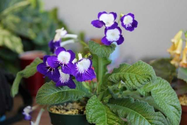 Mysterious streptocarpus - care
