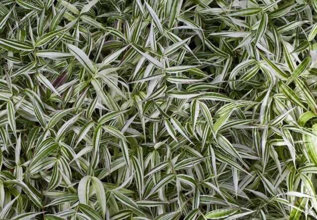 Oplismenus – variegated indoor cereal Ostyanka