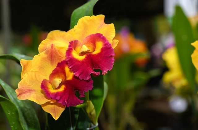 Orchids with Fruits and Exquisite Perfume-Care
