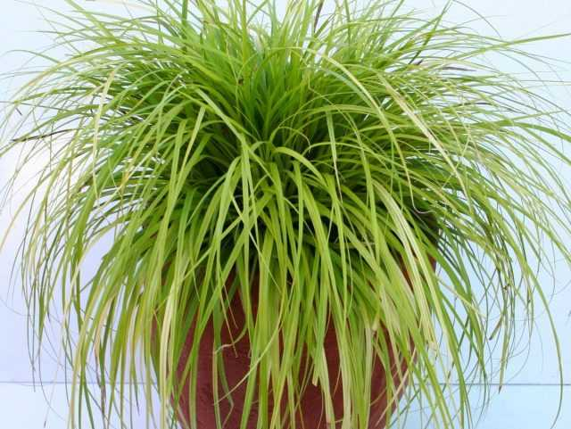 Ornamental sedge is one of the most graceful indoor plants - Care