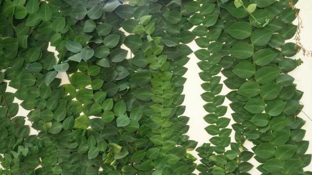 Rafidofora – indoor liana for wall gardening – Beautiful indoor plants