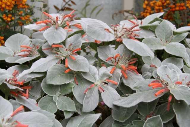 Rehsteineriya - indoor exotic for experienced florists