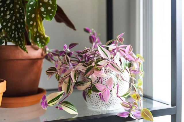 Riverside Tradescantia – lush and fast-growing-Care